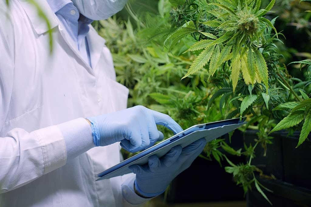 Person in a lab coat is assessing hemp plants