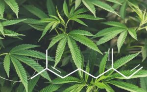 hemp leaves and a terpene chemical structure